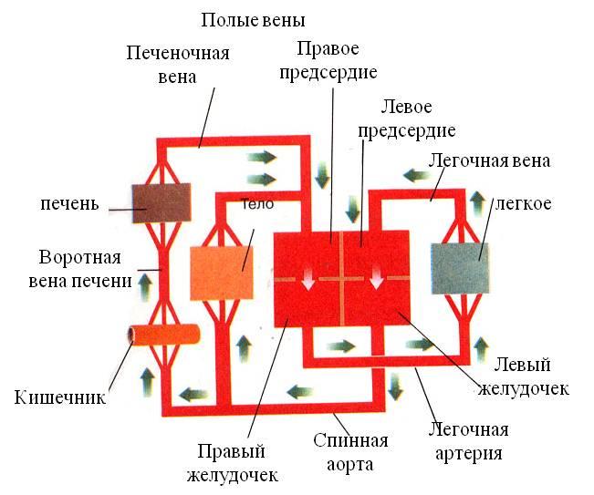 а) Схема кровеносной системы с